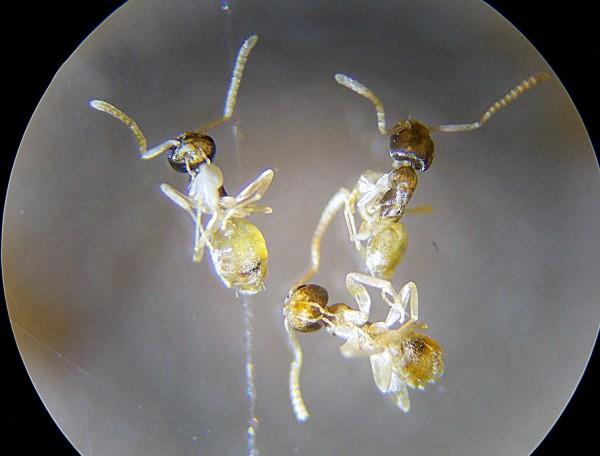 Hormiga fantasma, Tapinoma melanocephalum