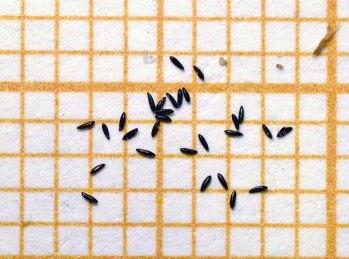 mosquito-tigre-gramanet-2015-08