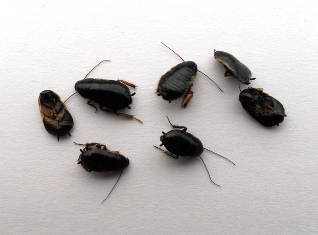 Cucaracha silvestre