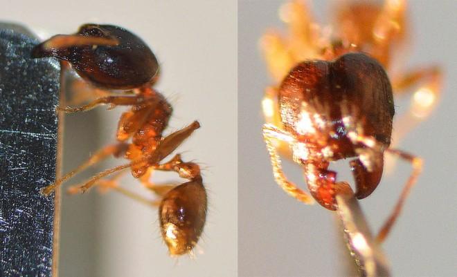 Pheidole megacephala, nueva especie de hormiga invasora detectada en Barcelona
