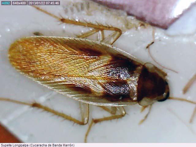 Cucaracha de Banda Marrón (Supella Longipalpa)