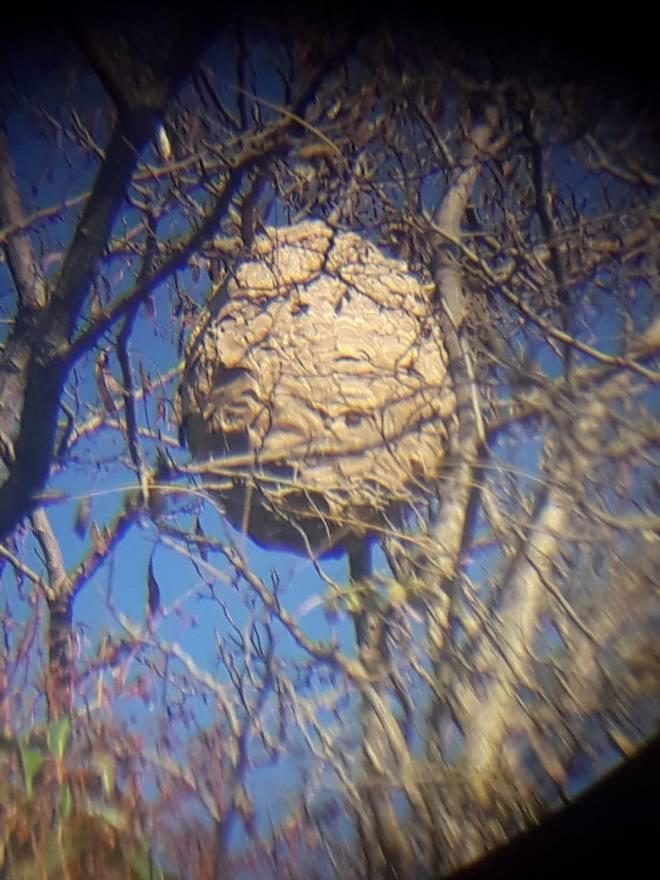 Retirada de nido de Avispa asiática en altura